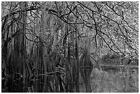 Bald cypress, spanish moss, and branches with fall colors over Cedar Creek. Congaree National Park, South Carolina, USA. (black and white)
