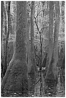 Young tree growing in swamp amongst old growth cypress and tupelo. Congaree National Park, South Carolina, USA. (black and white)
