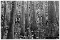 Swamp with bald cypress and tupelo trees. Congaree National Park, South Carolina, USA. (black and white)
