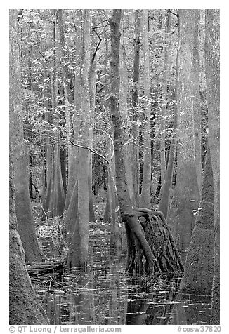 Walking tree in swamp. Congaree National Park (black and white)