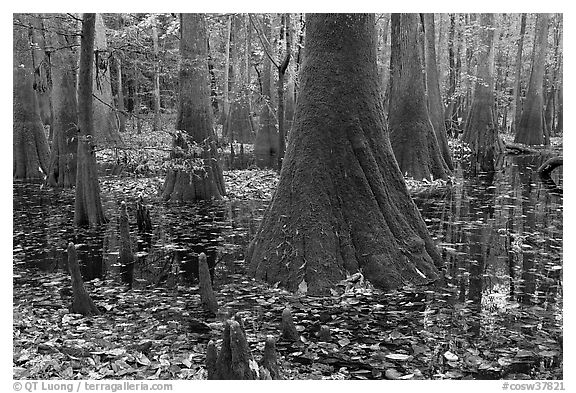 Cypress knees and trunks in swamp. Congaree National Park (black and white)