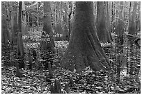 Cypress knees and trunks in swamp. Congaree National Park ( black and white)