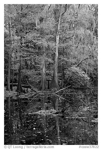 Bald cypress in fall colors and dark waters. Congaree National Park (black and white)