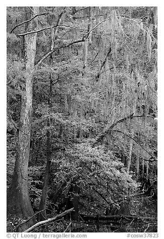 Spanish moss and cypress needs in fall colors. Congaree National Park (black and white)