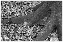 Roots of tupelo and fallen leaves. Congaree National Park, South Carolina, USA. (black and white)