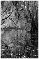 Branches with spanish moss reflected in Cedar Creek. Congaree National Park ( black and white)