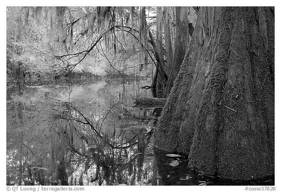 Buttressed cypress base and spanish moss reflected in Cedar Creek. Congaree National Park (black and white)