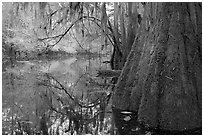 Buttressed cypress base and spanish moss reflected in Cedar Creek. Congaree National Park, South Carolina, USA. (black and white)