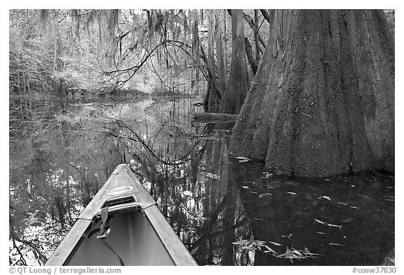 Canoe prow on Cedar Creek amongst large cypress trees, fall colors, and spanish moss. Congaree National Park (black and white)