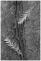 Close-up of fallen cypress needles on trunk. Congaree National Park, South Carolina, USA. (black and white)