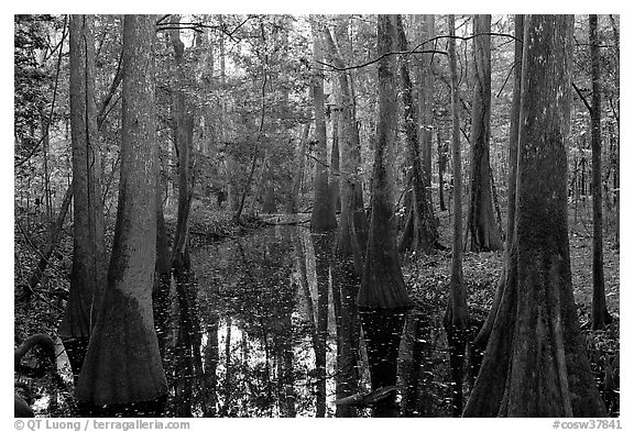 Creek in fall, early morning. Congaree National Park (black and white)