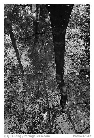 Bald cypress tree reflected in creek. Congaree National Park (black and white)