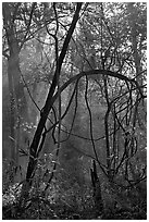 Trees with vines. Congaree National Park, South Carolina, USA. (black and white)