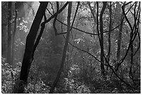 Vines and sunlit mist. Congaree National Park, South Carolina, USA. (black and white)