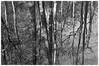 Cypress trees reflected in swamp. Congaree National Park ( black and white)