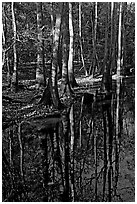 Trees trunks and reflections. Congaree National Park, South Carolina, USA. (black and white)