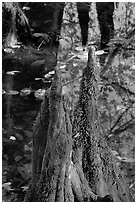 Cypress knees and creek. Congaree National Park, South Carolina, USA. (black and white)