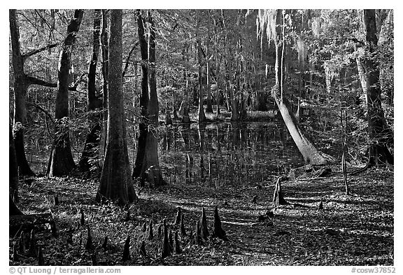 Cypress, knees, and Wise Lake. Congaree National Park (black and white)