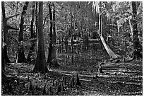 Cypress, knees, and Wise Lake. Congaree National Park ( black and white)