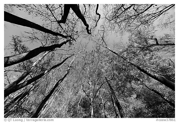 Floodplain forest canopy in fall color. Congaree National Park (black and white)