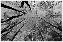 Floodplain forest canopy in fall color. Congaree National Park, South Carolina, USA. (black and white)