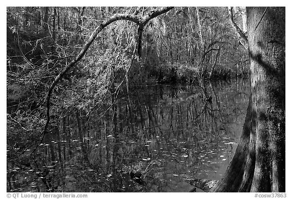 Bald cypress branch overhanging dark waters of Wise Lake. Congaree National Park (black and white)