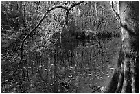 Bald cypress branch overhanging dark waters of Wise Lake. Congaree National Park ( black and white)
