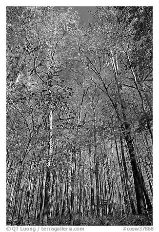 Tall floodplain forest trees. Congaree National Park (black and white)