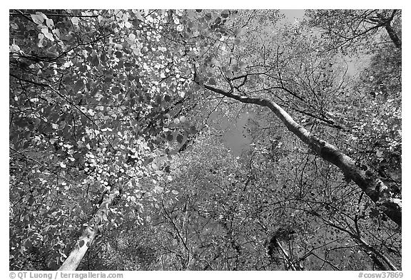 Bright leaves looking up floodplain deciduous forest. Congaree National Park (black and white)