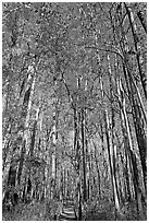 Boardwalk with woman dwarfed by tall trees. Congaree National Park, South Carolina, USA. (black and white)