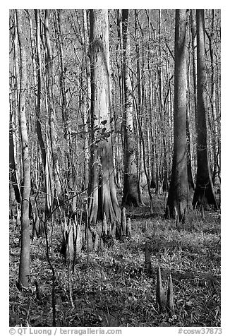 Cypress knees and tall cypress trees on a sunny day. Congaree National Park (black and white)