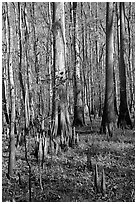 Cypress knees and tall cypress trees on a sunny day. Congaree National Park ( black and white)