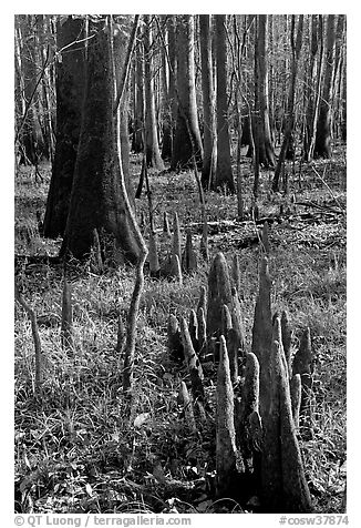 Floor of floodplain forest with cypress knees. Congaree National Park (black and white)