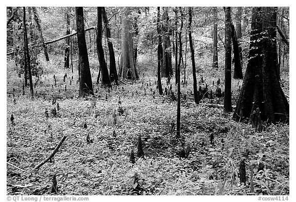Cypress and undergrowth with knees in summer. Congaree National Park (black and white)