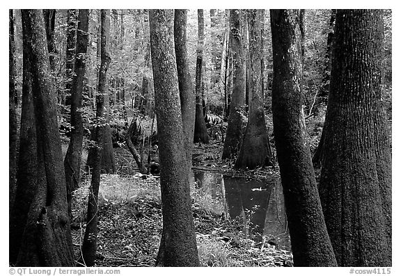 Cypress and swamp in summer. Congaree National Park (black and white)