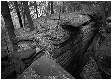 Sandstone cracks, moss, fallen leaves, and trees with bare roots. Cuyahoga Valley National Park, Ohio, USA. (black and white)