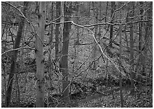 Branches and bare forest. Cuyahoga Valley National Park, Ohio, USA. (black and white)
