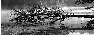 Fallen tree in lake with mist raising. Cuyahoga Valley National Park (Panoramic black and white)