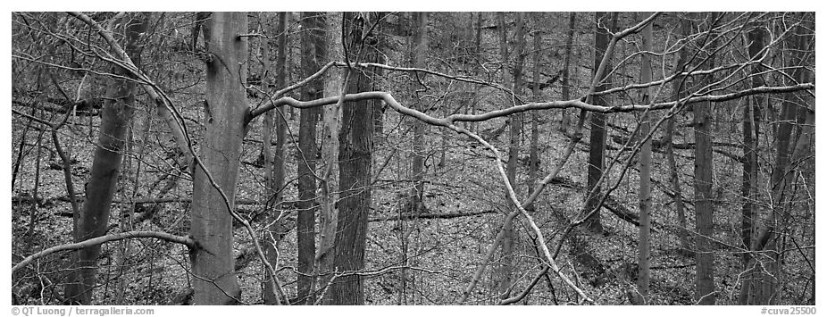 Criss-crossing branches in bare forest. Cuyahoga Valley National Park (black and white)