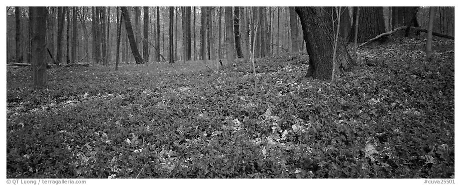 Forest floor with bare trees and early wildflowers. Cuyahoga Valley National Park (black and white)