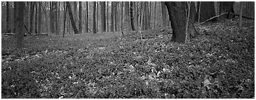 Forest floor with bare trees and early wildflowers. Cuyahoga Valley National Park (Panoramic black and white)