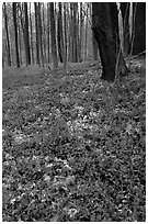Forest floor with tint myrtle flowers, Brecksville Reservation. Cuyahoga Valley National Park ( black and white)
