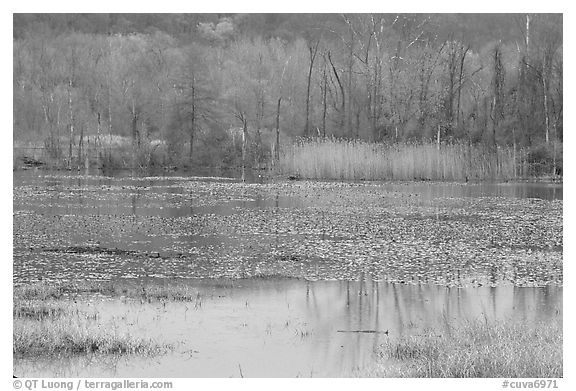 Water lillies and reeds in Beaver Marsh. Cuyahoga Valley National Park (black and white)