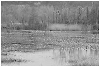 Water lillies and reeds in Beaver Marsh. Cuyahoga Valley National Park, Ohio, USA. (black and white)