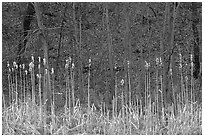 Grasses and trees in early spring. Cuyahoga Valley National Park ( black and white)