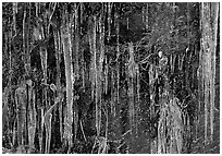 Icicles curtain, Tennessee. Great Smoky Mountains National Park, USA. (black and white)