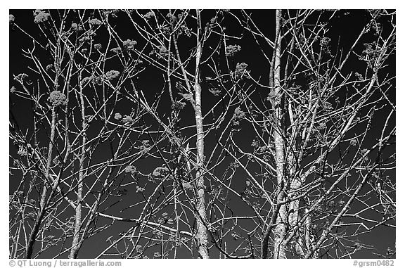 Bare trees, red Mountain Ash berries, blue sky, North Carolina. Great Smoky Mountains National Park (black and white)