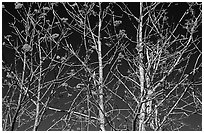 Bare trees, red Mountain Ash berries, blue sky, North Carolina. Great Smoky Mountains National Park, USA. (black and white)