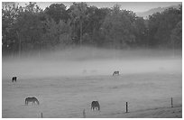 Horses and fog, Cades cove, dawn, Tennessee. Great Smoky Mountains National Park, USA. (black and white)