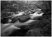 Arching dogwood in bloom over the Middle Prong of the Little River, Tennessee. Great Smoky Mountains National Park ( black and white)